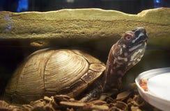Schildkröte, die zu Mittag isst Stockbild