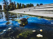 Schildkröte ein Sonnenbad nehmender Trachemys lizenzfreies stockfoto