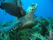Schildkröte in einem haarscharfen Wasser mit Fischen Lizenzfreies Stockbild
