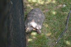 Schildkröte in einem lokalen Zoo Lizenzfreie Stockfotografie