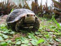 Schildkröte Eiongate Tortoiseï ¼ Indotestudo elongataï ¼ Stockfotografie