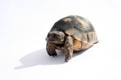 Schildkröte Emma Lizenzfreie Stockfotos