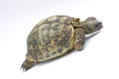 Schildkröte Emma lizenzfreie stockbilder