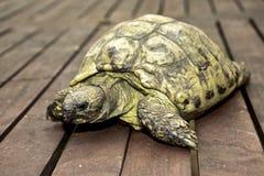 Schildkröte Emma Lizenzfreies Stockbild