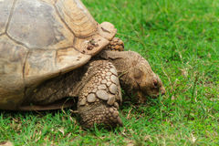 Schildkröte, essend eine Kleinigkeit Stockbilder