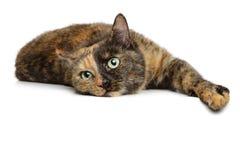 Schildkröte-farbige Katze auf einem weißen Hintergrund Stockfoto