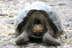 Schildkröte, Galapagos Stockfotos