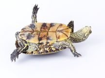 Schildkröte gedreht lizenzfreie stockbilder