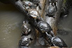 Schildkröte gehockt auf den Felsen, die sich im Sonnenlicht aalen Lizenzfreies Stockbild