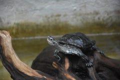 Schildkröte gehockt auf den Felsen, die sich im Sonnenlicht aalen Stockbild