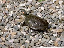 """Schildkröte gemaltes dekoratives Frischwasser-†""""4 stockbild"""