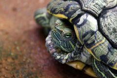Schildkröte, Hauptschildkrötenabschluß oben, Schildkrötenvertrag im Oberteil stockbilder