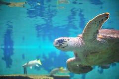 Schildkröte im Aquarium. Stockfotos