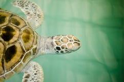 Schildkröte im Bauernhof stockbilder