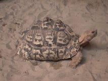 Schildkröte im Sand Stockfotos