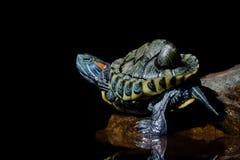 Schildkröte im schwarzen Hintergrund lizenzfreie stockbilder