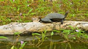 Schildkröte im See lizenzfreie stockbilder