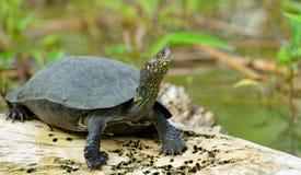 Schildkröte im See stockfotos