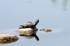 Schildkröte im sunbath Stockbild