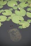 Schildkröte im Teich Lizenzfreies Stockbild