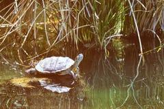 Schildkröte im Wasser Lizenzfreie Stockfotografie
