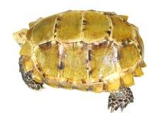 Schildkröte im Weiß Lizenzfreie Stockfotos
