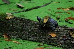 Schildkröte kreuzt den Fluss, der unter einem Blatt versteckt wird Lizenzfreie Stockbilder