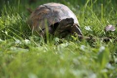 Schildkröte kriecht auf die grüne Wiese Lizenzfreies Stockfoto