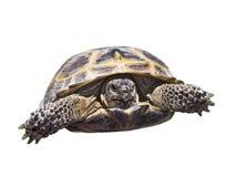 Schildkröte lokalisiert Stockbild