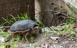 Schildkröte mit gelber Linie im Kopf am Garten mit Gras lizenzfreie stockfotografie