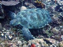 Schildkröte mit Remora auf Oberteil Lizenzfreie Stockfotografie