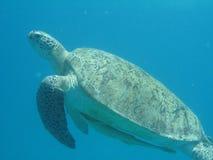 Schildkröte mit succerfish Lizenzfreie Stockfotos