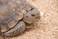 Schildkröte (Mojave-Wüste) Stockfotografie