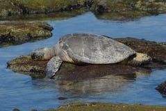 Schildkröte oben Abschluss und Persoanl Lizenzfreies Stockfoto