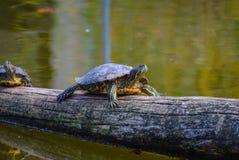 Schildkröte in Schönbrunn, Wien Stockfotos