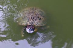 Schildkröte, Schildkrötenschwimmen schwamm auf dem Oberflächenwasser, selektiver Fokus der Frischwasserschildkröte stockfoto