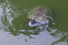 Schildkröte, Schildkrötenschwimmen schwamm auf dem Oberflächenwasser, selektiver Fokus der Frischwasserschildkröte lizenzfreie stockfotos
