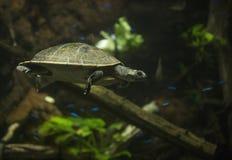 Schildkröte an Shedd-Aquarium stockfoto