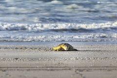 Schildkröte am Strand Stockfotos