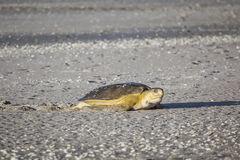 Schildkröte am Strand Stockbild