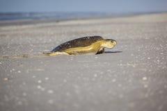 Schildkröte am Strand Stockfotografie