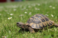 Schildkröte Testudo Hermanni Stockfotografie