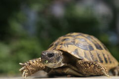 Schildkröte Testudo Hermanni Stockbilder