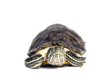 Schildkröte trachemys scripta stockbild