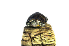 Schildkröte trachemys scripta stockfoto
