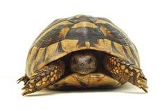 Schildkröte trennte lizenzfreies stockfoto
