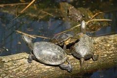Schildkröte-Umwerbung stockbilder