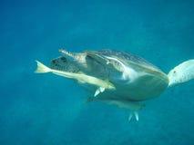 Schildkröte und Fische der Ausflussöffnung Stockfoto