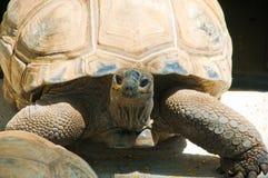 Schildkröte von Mauritius Lizenzfreies Stockbild