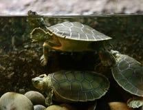 Schildkröte - Wasserunschärfe Lizenzfreies Stockfoto